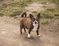 Немногое собака чихуахуа в положении парка на дороге стоковые фотографии rf