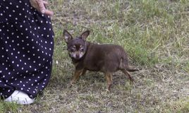 Немногое собака чихуахуа идя в парк на траве стоковые фото