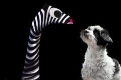 Немногое собака шавки наблюдает запасая марионеткой руки стоковые фото