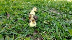 Немногое утята на зеленой траве Цыпленоки утки Muscovy видеоматериал