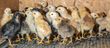 Немногое цыплята в брудере на ферме стоковое фото rf