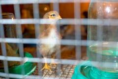 Немногое цыплята в брудере на ферме стоковые изображения