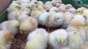 Немногое цыплята, цыпленок младенца в птицеферме акции видеоматериалы