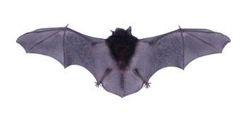 Немногое черная летучая мышь изолированная на белой предпосылке Стоковые Фото