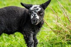Немногое черная овечка стоя поле в Ирландии стоковые изображения