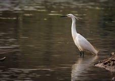 Немногое Egretta Garzetta Egret стоя на реке Sile стоковые изображения