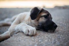 Немногое mastiff щенка испанский лежа вниз стоковые фотографии rf