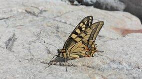 Немного желтый цвет и живая природа бабочки Брайна Стоковые Фото