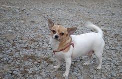 Немного тучная и смешная собака стоковые фотографии rf