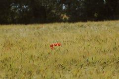 Маки в пшеничном поле стоковое фото rf
