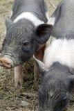 Немного piggy Стоковая Фотография RF