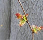 Ненастная предыдущая весна первые листья Стоковая Фотография