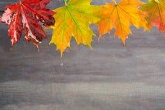 Ненастные кленовые листы осени на серой предпосылке Стоковые Изображения RF