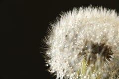 Ненастный конспект семени одуванчика в черноте Стоковые Фото