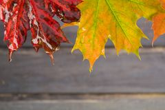 2 ненастных кленового листа осени на деревянной предпосылке Стоковые Изображения