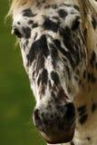 Необыкновенная лошадь Appaloosa Стоковое Изображение