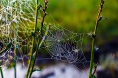 Необыкновенная сеть ` s паука в поле в раннем утре Стоковые Изображения