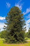 Необыкновенное зеленое колючее дерево Стоковое Изображение RF