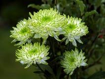 Необыкновенные зеленые и белые хризантемы Стоковые Фотографии RF