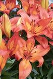 Красивая лилия в саде стоковая фотография