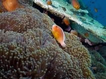 Необыкновенные розовые clownfish скунса morph в Tulamben Стоковые Изображения RF