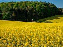 Необыкновенный взгляд на поле цветка рапса на солнечный день с голубым небом стоковое фото rf