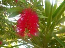 Необыкновенный красный цветок цветения весной Волшебный весенний сезон стоковое изображение