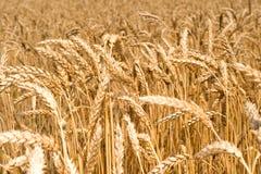 неоглядная пшеница поля Стоковое фото RF