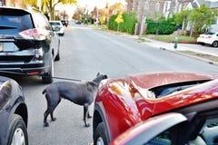 Неожиданная опасность автомобиля дороги собаки возникновения Стоковые Изображения RF