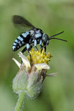 Неоновая пчела кукушки, пчела ест honeydew на желтом цветке стоковые изображения