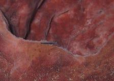 Неоновые бычковые - Roatan, Гондурас Стоковая Фотография