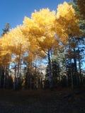 Неоновые желтые деревья Aspen в осени Стоковые Фото
