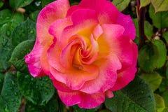 Неоновый розовый марди Гра поднял Стоковое фото RF