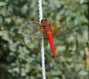 Неоновый Dragonfly шумовки, croceipennis libellula Стоковая Фотография