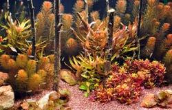 неон аквариума tetra Стоковое Изображение