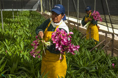 Неопознанные женщины выбирая цветки в специализированном парнике Стоковое Изображение