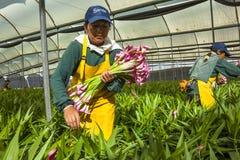 Неопознанные женщины выбирая цветки Стоковое Фото