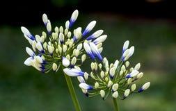 Неоткрытые бутоны и зеленые стержни цветка Agapanthis Стоковые Фотографии RF