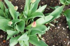 Неоткрытый бутон тюльпана Стоковое Изображение