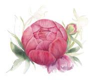 Неоткрытый пион цветка Стоковое Изображение RF