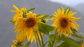 Неотразимые солнцецветы против темносинего неба стоковое изображение rf