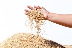 Неочищенные рисы владением руки на белой предпосылке Стоковое Изображение RF