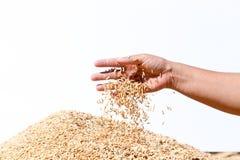Неочищенные рисы владением руки на белой предпосылке Стоковое фото RF