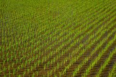Неочищенные рисы в зеленой обрабатываемой земле Стоковая Фотография RF