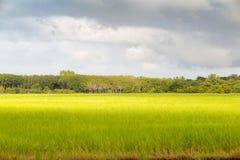 Неочищенные рисы в поле, Таиланде, зеленом поле Стоковые Фотографии RF