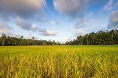 Неочищенные рисы в поле, Таиланде, зеленом поле Стоковые Фото