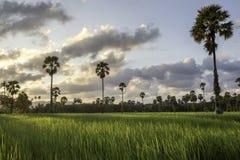 Неочищенные рисы в поле, Таиланде, зеленом поле Стоковое Изображение RF
