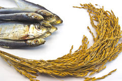 Неочищенные рисы и высушенные рыбы на белой предпосылке Стоковое Изображение