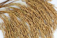 Неочищенные рисы на белой предпосылке Стоковое фото RF