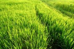 неочищенные рисы полей польностью зеленые Стоковые Фотографии RF